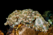 Greater Blue-Ringed Octopus - Hapalochlaena lunulata