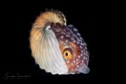 Female Paper Nautilus - Argonautidae Argonauta