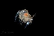 Shrimp Larva - Aristeidae Family - Cerataspis larva of Plesiopenaeus armatus
