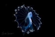 Tripod Fish Larva - Bathypterois