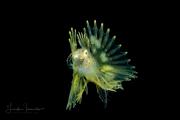 Zebra Lionfish - Dendrochirus zebra